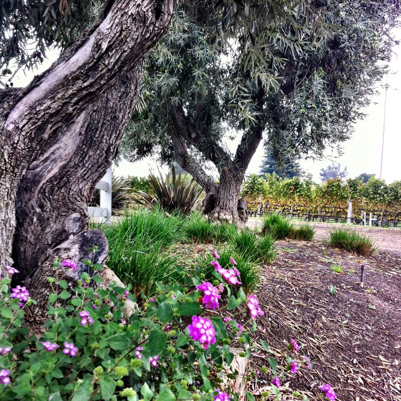 Nickel & Nickel olive trees