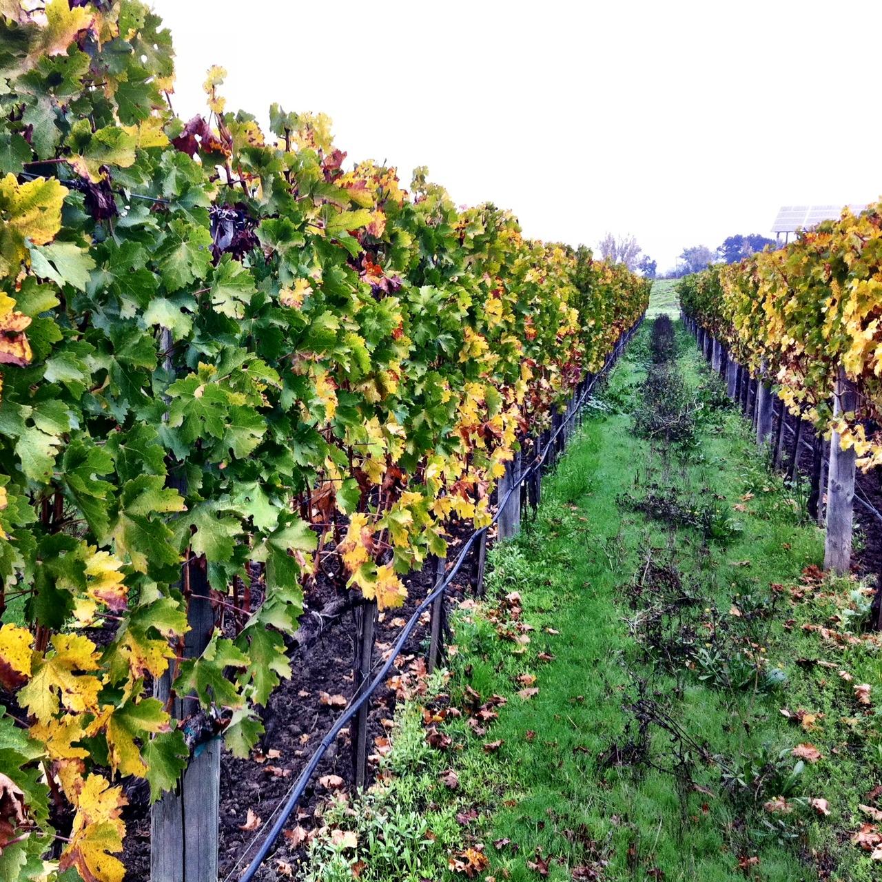 Sullenger Vineyard