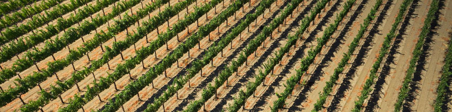 Napa Chardonnay: Medina Vineyard