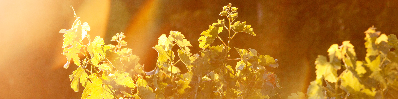 Mast-Vineyard-SoriBricco
